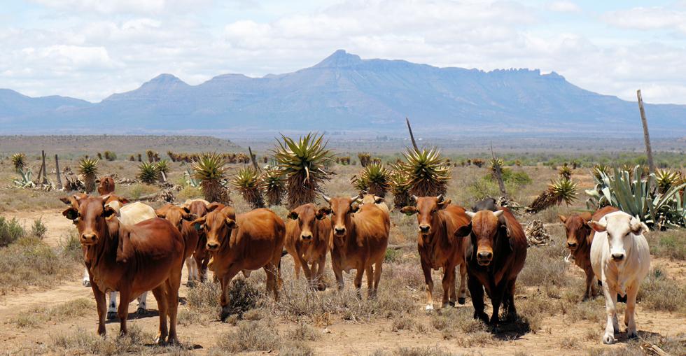 Nguni cattle
