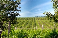 winery vineyards - 1