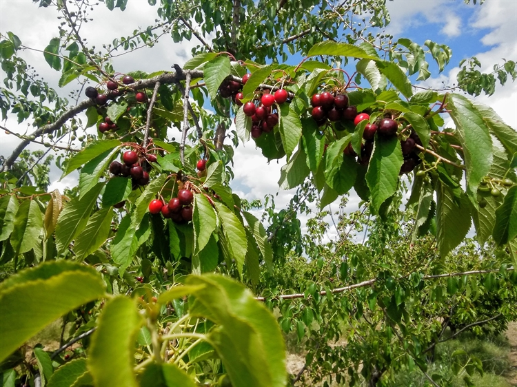 urgent cherry sour cherry - 12