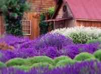 lavender farm business sequim - 1