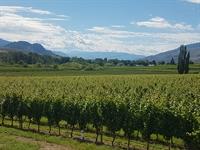 vineyard oliver - 2