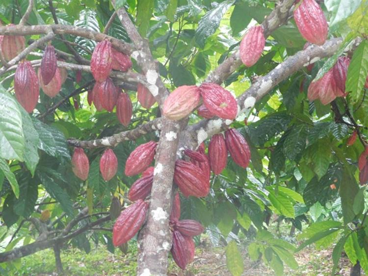 teak cacao farm - 15