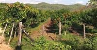mango farm kampot cambodia - 1