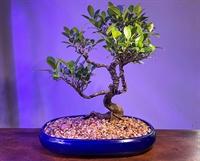 pleasure to run bonsai - 3
