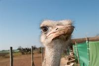 ostrich farm with souvenir - 1