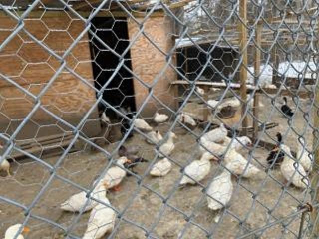 poultry farm meat dist - 5
