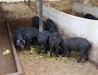 licensed black pig farm - 1