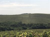 300 hectares vineyard romania - 1