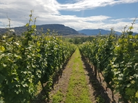 vineyard oliver - 3