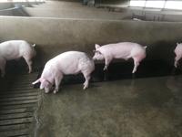 stock farm piggery mpumalanga - 3