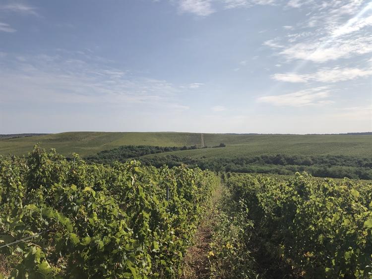 300 hectares vineyard romania - 14
