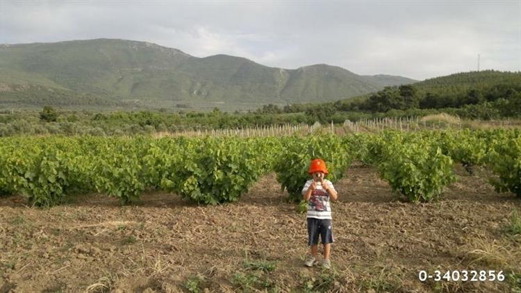 fantastic olive orchard vineyard - 5