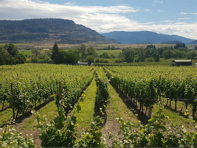 vineyard oliver - 4
