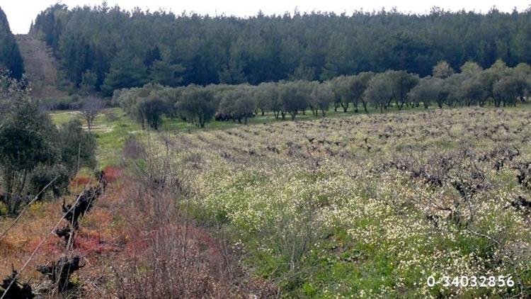fantastic olive orchard vineyard - 7