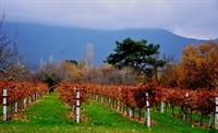 fantastic olive orchard vineyard - 1