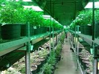 medical marijuana grow - 1