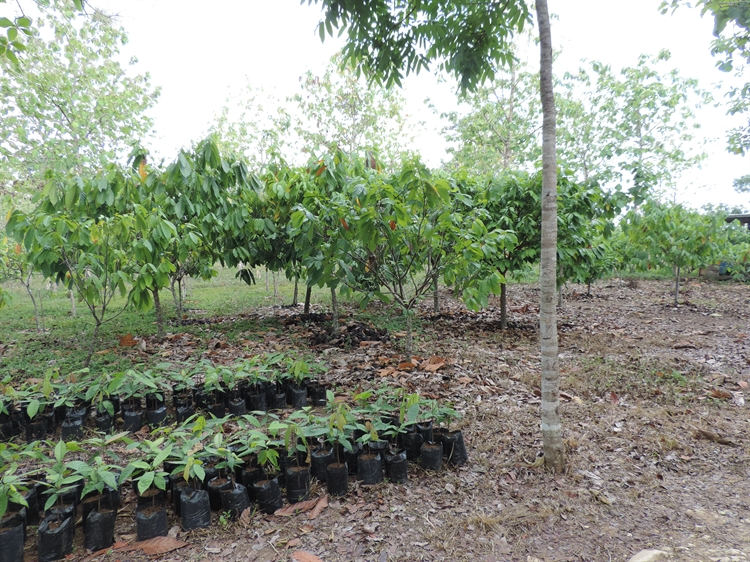 teak cacao farm - 7