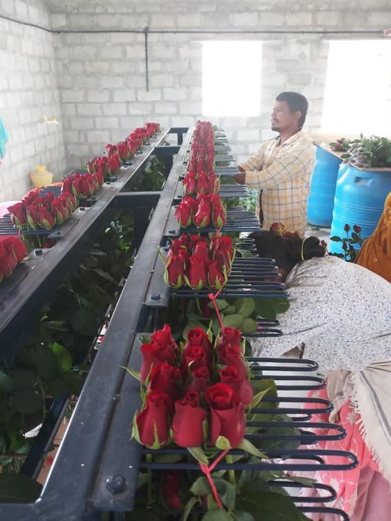 dutch roses farm exports - 4