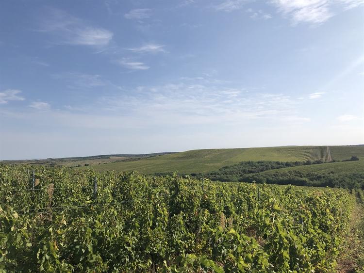 300 hectares vineyard romania - 10