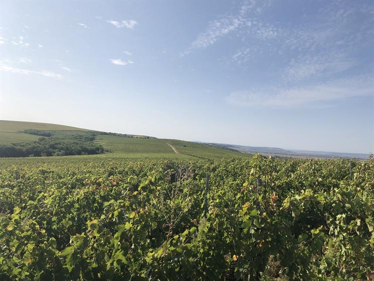300 hectares vineyard romania - 13