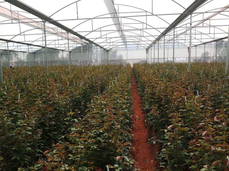 dutch roses farm exports - 5