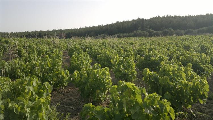 fantastic olive orchard vineyard - 8