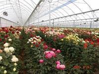 large scale flower farm - 1