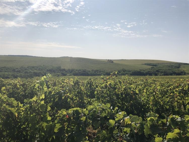 300 hectares vineyard romania - 11