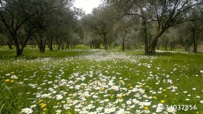 fantastic olive orchard vineyard - 6