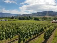 vineyard oliver - 1