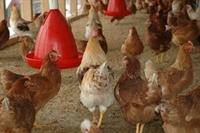 poultry farm meat dist - 2