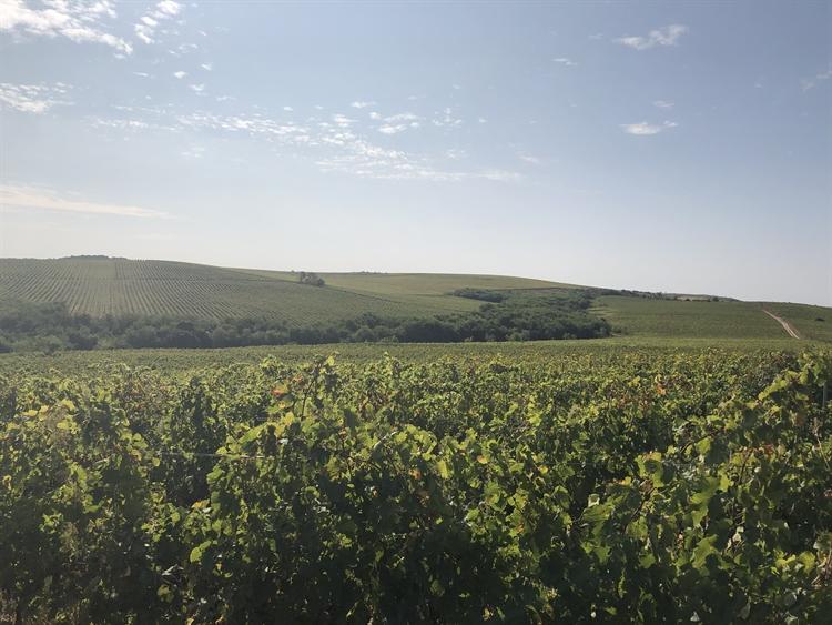300 hectares vineyard romania - 9