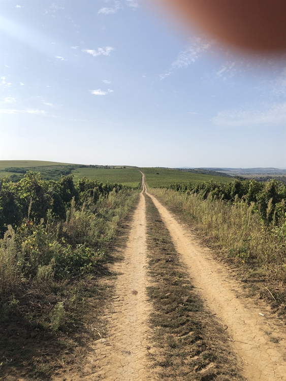 300 hectares vineyard romania - 8