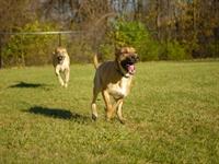 semi absentee guard dog - 1
