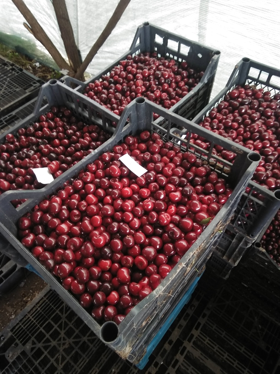 urgent cherry sour cherry - 9
