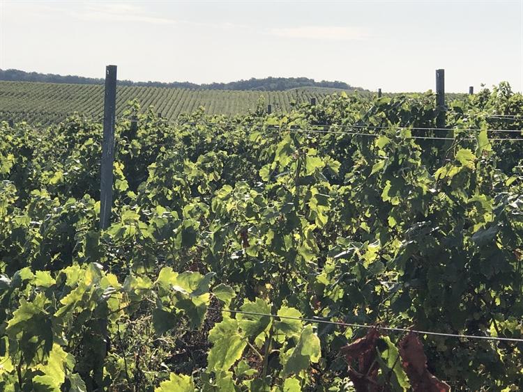 300 hectares vineyard romania - 7