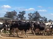 Dairy Farm - Business & Freehold - Vic / Nsw Border For Sale